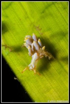 Trinchesia genovae by Enric Madrenas