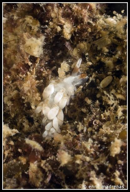 Trinchesia miniostriata by Enric Madrenas