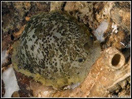 dendrodoris-limbata-54
