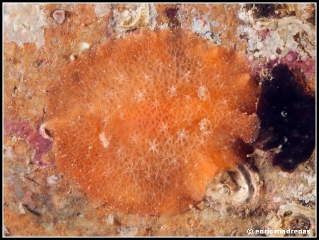 Discodoris stellifera by Enric Madrenas