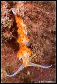 dondice-banyulensis-03
