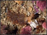 dondice-banyulensis-21