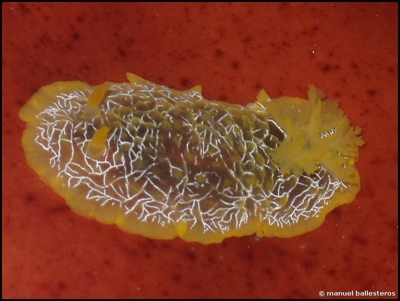 Doriopsilla areolata