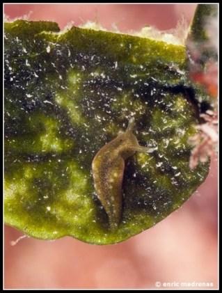 Elysia viridis