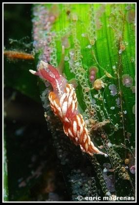 Facelinopsis marioni by Enric Madrenas