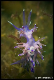 Flabellina affinis by Enric Madrenas