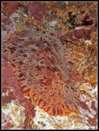 geitodoris-planata-11