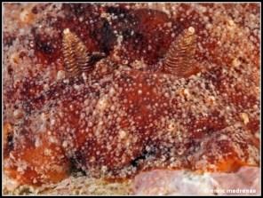 geitodoris-planata-23