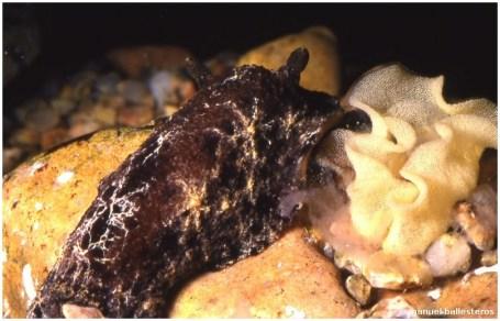 geitodoris-planata-y-puestaa-002