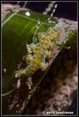 hancockia-uncinata-20