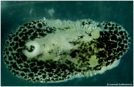 Onchidoris albonigra