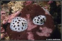 peltodoris-atromaculata-24