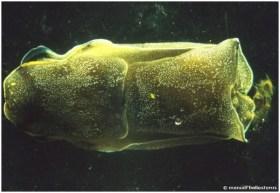 Philinopsis depicta
