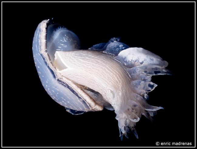 Tethys fimbria by Enric Madrenas