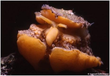 umbraculum-mediterraneum-img034