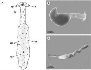 Pontohedyle milaschewitchii (Kowalevsky, 1901) A) Esquema de un ejemplar entero en vista dorsal (dg: glándula digestiva; ey: ojos; lt: tentáculo labial; sp1 y sp2: espículas; vs: saco visceral) B, C) Fotografias ejemplar vivo mostrando la variación de su forma externa en movimiento. (Jorger et al, 2008)