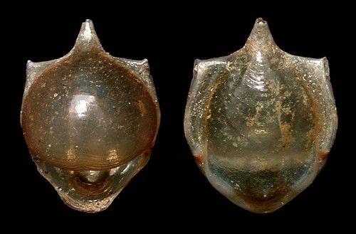 Cavolinia tridentata 12 mm (Pacific population) by Cory Pittman seaslugsofhawaii.com - source CAS collection