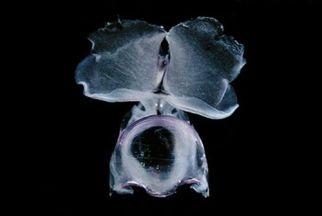 Diacavolinia longirostris 8 mm (Pacific population) by Pauline Fiene seaslugsofhawaii.com