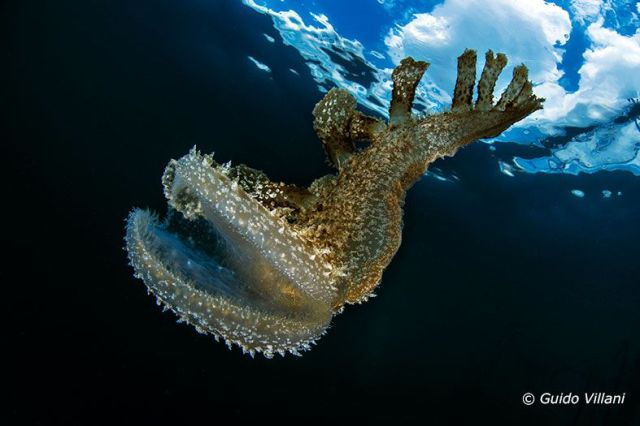 Melibe viridis @ Mar Piccolo, Taranto by Guido Villani