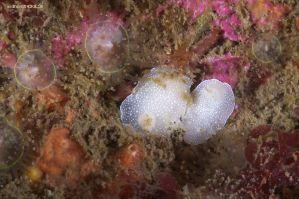 Cadlina laevis (Atlantic)