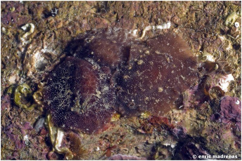 Aporodoris millegrana