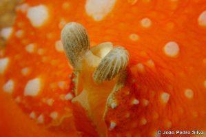Armina maculata