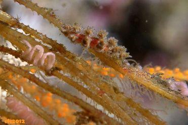 Doto pinnatifida (Atlantic)
