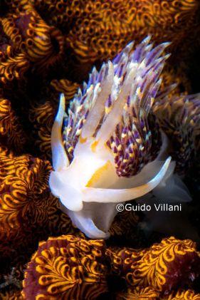 Godiva quadricolor @ Laguna Maremorto, Bacoli, Napoli (July 2013) by Guido Villani