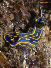 Felimare cantabrica (Atlantic)