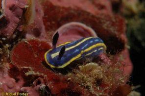 Hypselodoris tricolor