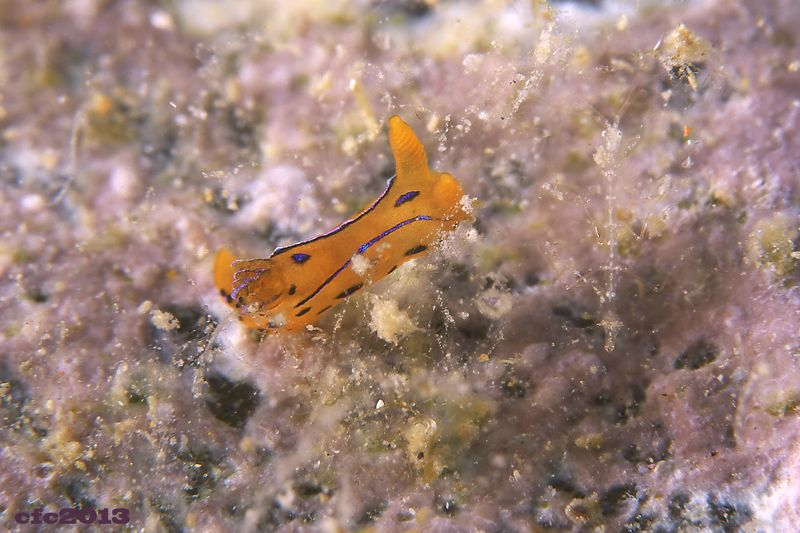 Polycera elegans (Atlantic)