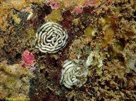 Tritonia plebeia Spawn coils - Rathlin Island, Co Antrim, Ireland - Photograph ©Bernard Picton