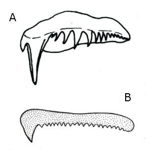 Comparativa radula T.hispalensis (A) y T.tartanella (B)