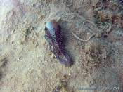 Akera bullata (2007-04 Etang de Thau)