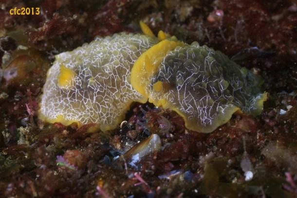 Doriopsila areolata (Atlantic) en cópula, by Carlos Fernández-Cid