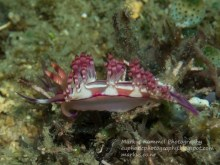 Flabellina rubrolineata @ The Canyons, Sabang, Philippines (4 m) 19-03-2016 by Markus Rummel