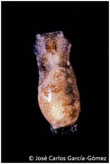 Haminoea exigua by José Carlos García Gómez