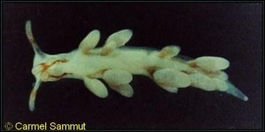 Trinchesia miniostriata 4mm @ Qalet Marku, Malta 1m depth 26-06-1993 by Carmel Sammut