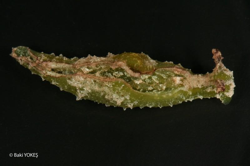 Elysia tomentosa by Baki Yokes @ 20080925 Fethiye, Turquia 24m, on Caulerpa racemosa var. lamourouxii, size 38mm