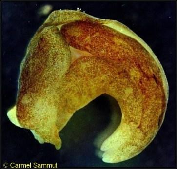 Philine catena 16mm @ Malta 40-50m depth 9-06-1994 by Carmel Sammut