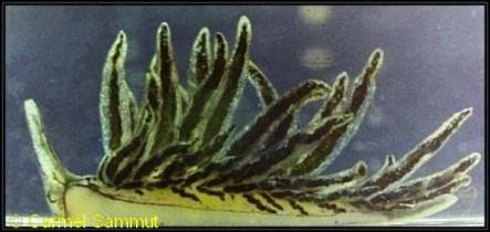 Placida viridis 6mm lateral view @ Qajjenza, Malta 1m depth 6-02-1995 by Carmel Sammut