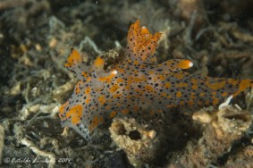 Thecacera pennigera Observed at Mar Piccolo, Taranto, Puglia, Italia (23/04/2014 – 05/08/2014) by Cataldo Licchelli