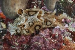 Aplysia dactylomela by Cataldo Licchelli