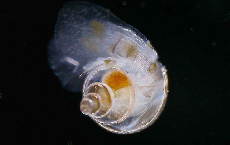 Heliconoides inflatus by Christian Sardet (www.PlanktonChronicles .org)