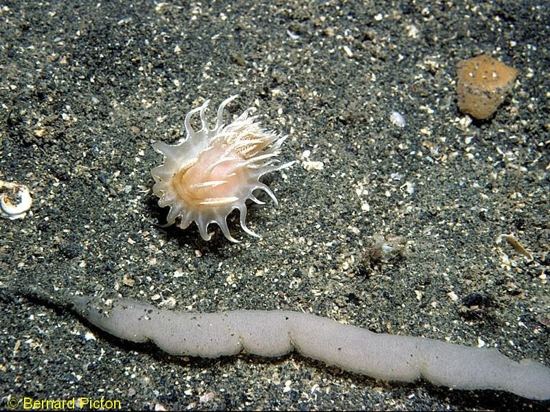 Okenia leachii With spawn, not confirmed to belong to this species. Shiant Islands, NW Scotland. 1988. - Photograph ©Bernard Picton