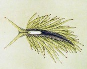 Placida tardyi, original artwork by Salvatore Trinchese (1879: Lam. XV, Fig. 1)