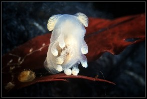 Ancula gibbosa by Alexander Semenov