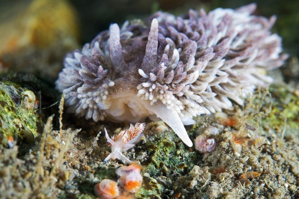 Drama: Aeolidia papillosa about to eat another nudibranch by Alexander Semenov