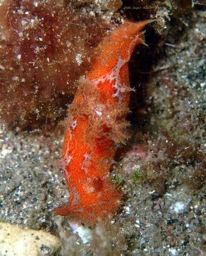 Plocamopherus maderae @ Gran Canaria by Pablo Samper