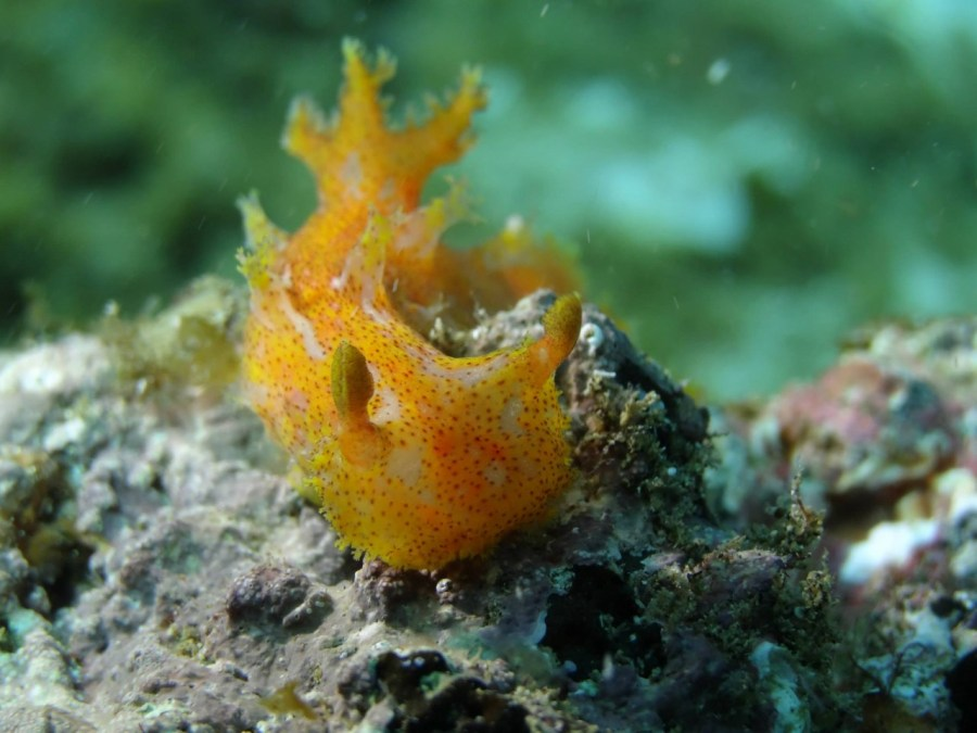 Plocamopherus maderae @ Lanzarote 24-04-2015 by Sue Chamberlain